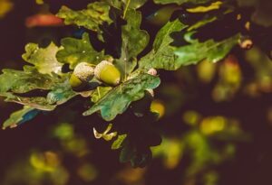 how to grow a tree from an acorn